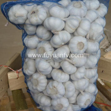 super garlic from factory