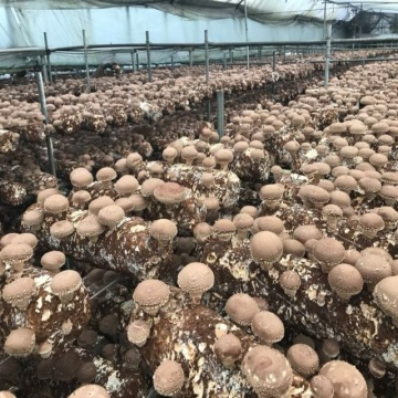 Factory grow mushroom shiitake mushroom bags growing