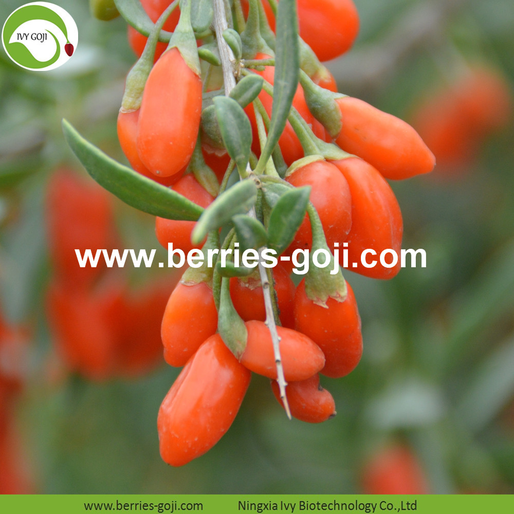 Factory Supply Fruit Natural Mechanical Dried Goji Berries