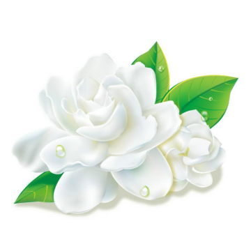 Jasmine essential oil for hair care