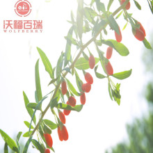 Wolfberry/Lycium Barbarum /Healthy Goji Berry