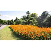 Touchhealthy Supply colorful hybrid Cosmos sulphureus seeds