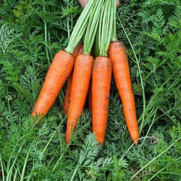 High Quality New Crop Carrot