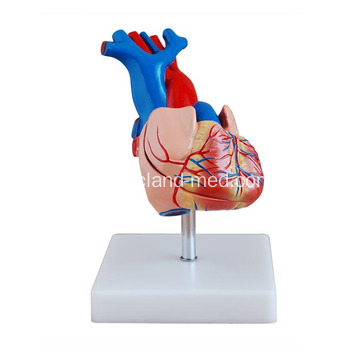 Life-Size Heart Model Medical Teaching