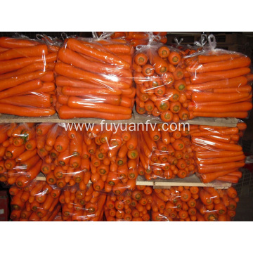 L Size fresh carrot