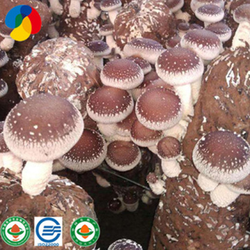 Mass- produced and Organic Shiitake Mushroom Spawns