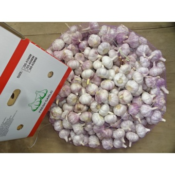 High Quality Normal White Garlic 2020