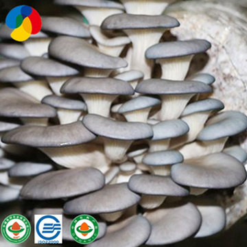 Fruit-Flavored Oyster Mushroom Species