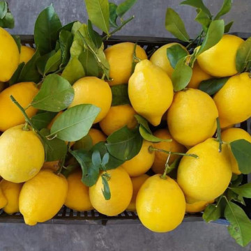 HIGH QUALITY LEMON CROP 2021
