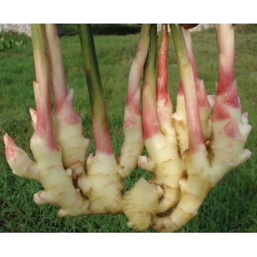 Hot Selling Ginger Good Quality Ginger Fresh and Semi Dried Full Dried Ginger