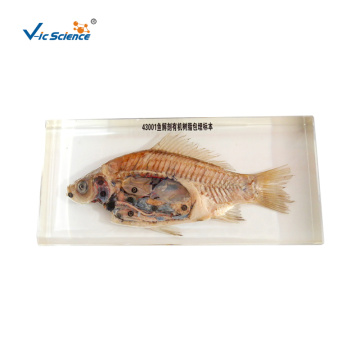 Fish Anatomy Organic Resin Embedded Specimen