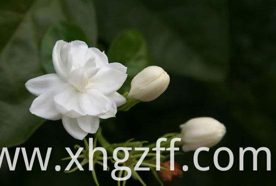 Jasmine Essential Oil Usage