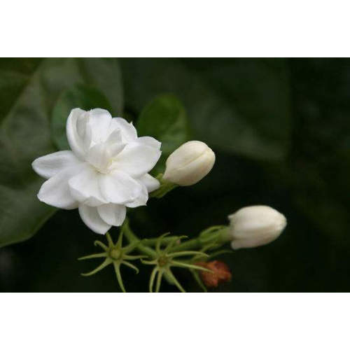 Jasmine Absolute Essential Oil 10ml