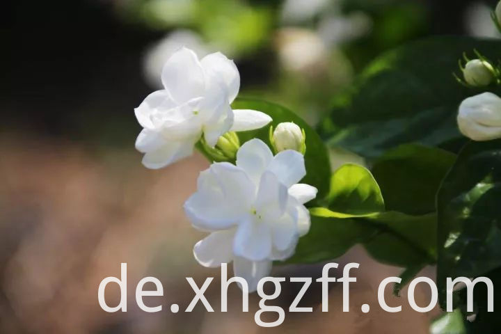 Jasmine Essential Oil Factory