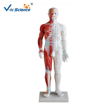 Acupuncture Muscle Model 60CM Male