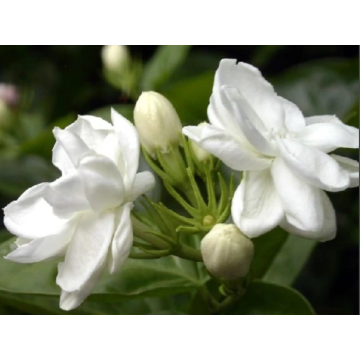 Fresh-scented jasmine essential oil for sleeping