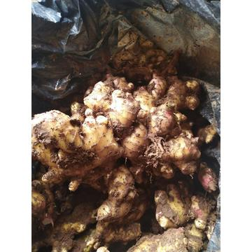 2020Crop Best Quality Ginger