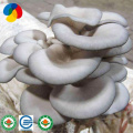 Soilless Cultivation Of Oyster Mushroom Spawn