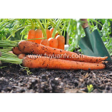 Nourishing fresh big size carrot