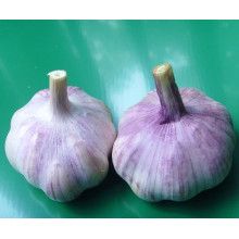Normal White Garlic Purple Garlic Price