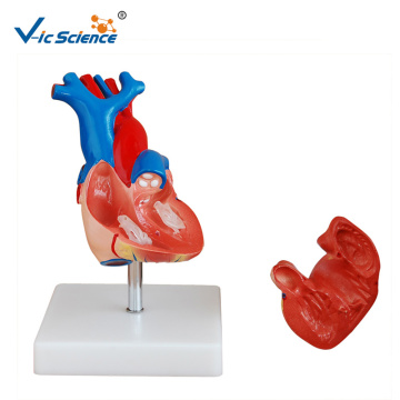 Circulatory Life-Size Heart Model