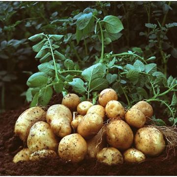 Fresh potato from Tengzhou with good taste