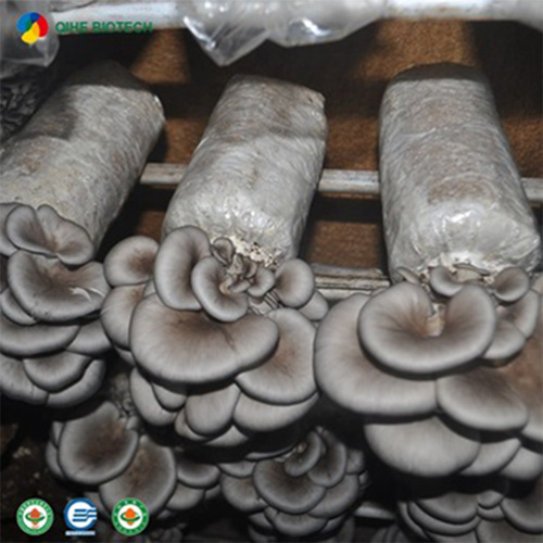 High Yield Easy To Manage Oyster Mushroom Spawn