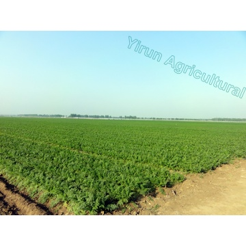 Wholesale Fresh Carrots with Export Standard
