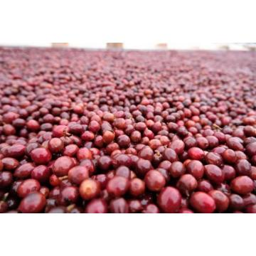 Robusta Green Coffee Beans Grade 1