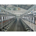 Parallel quick-release milking parlor for cows