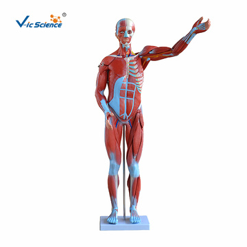 80CM Human Muscles Model Male