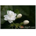 Jasmine absolute Essential Oil for skin care