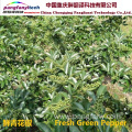 Fresh Nutritional  Spicy Tasty Self-planted Green Pepper