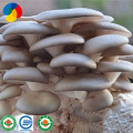 Fresh  substrate spawn cultivated oyster mushroom plugs