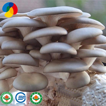 Best Selling Oyster Mushroom Spawn Cultivation