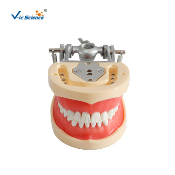 Dental Model  Soft Gum