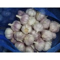 Fresh Garlic Loosing Packing