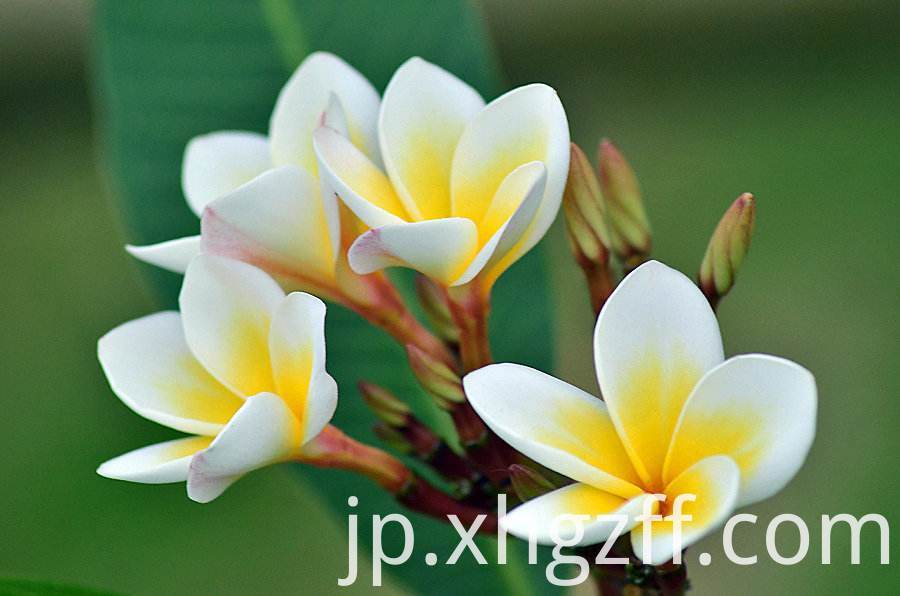 Daily Frangipani Essential Oil