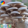 Selling Highly Efficient Pleurotus Ostreatus Strains