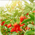 Chinese High Quality Goji Berry