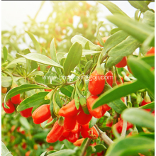 Agriculture Food Goji Berry