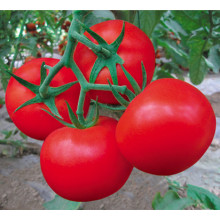 Red f1 hybrid tomato seeds