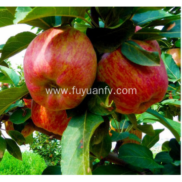 Sweet red star apple