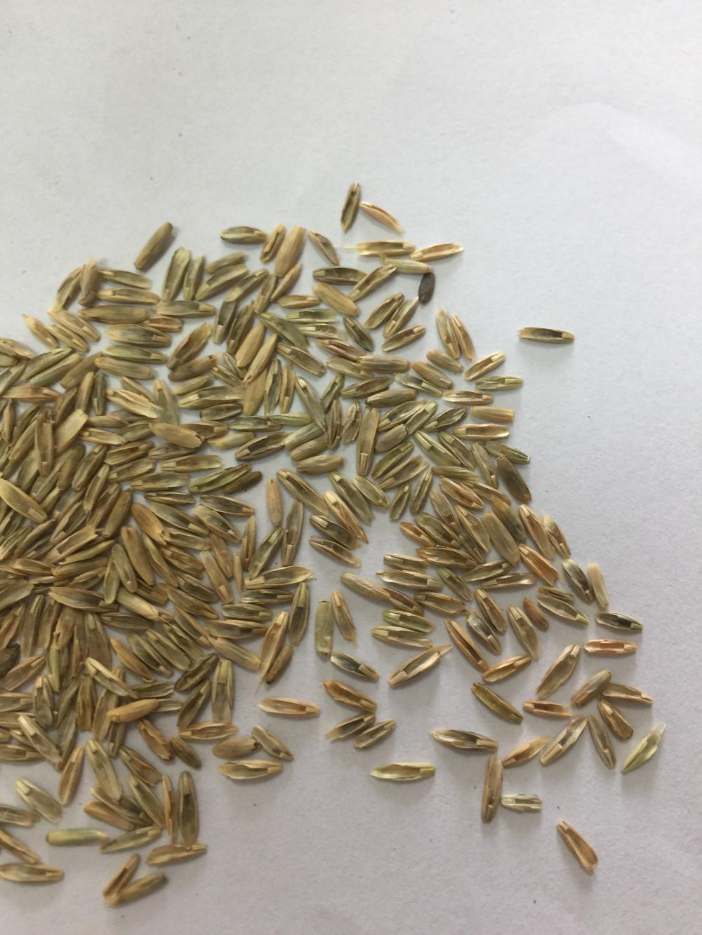 Annual ryegrass grass seeds