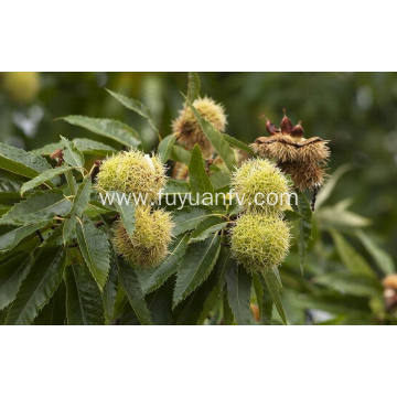 The best export grade fresh chestnut