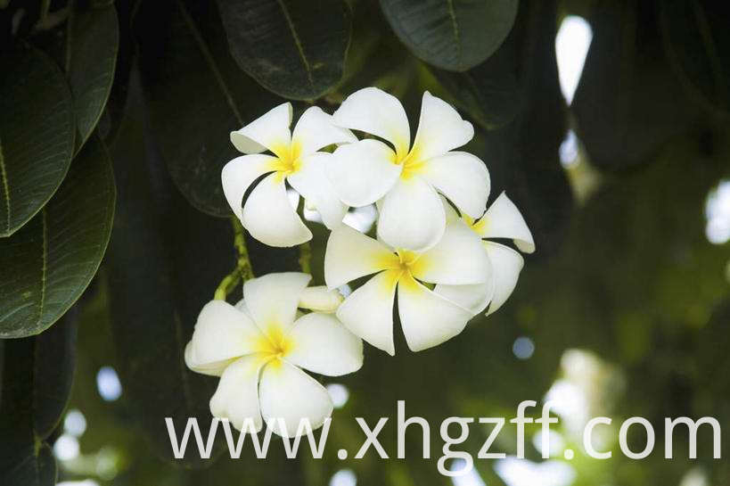 Natural Frangipani Essential Oil