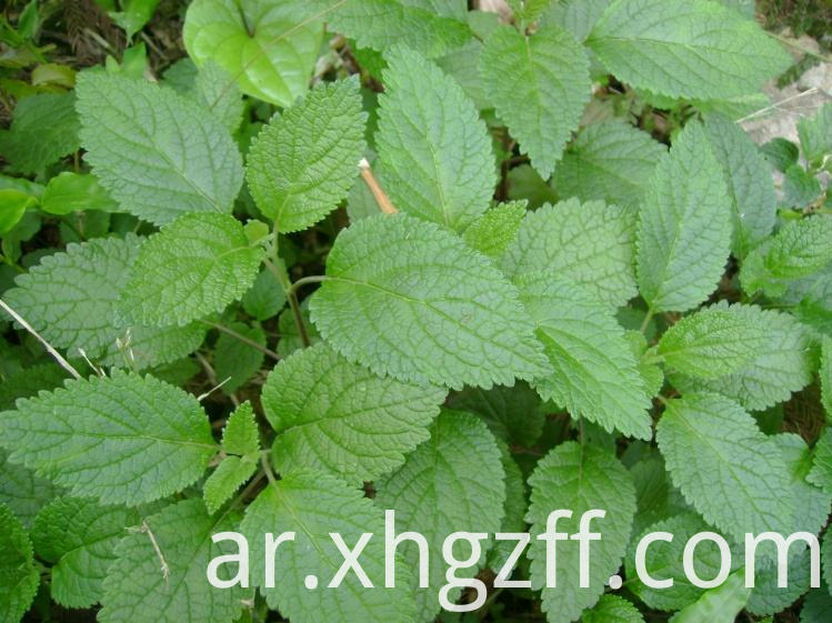 Natural Patchouli Essential Oil