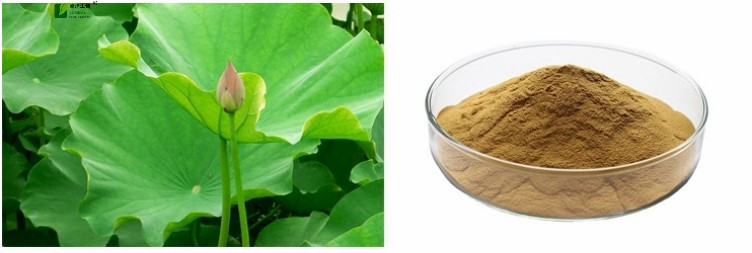 Lotus leaf extract 1_