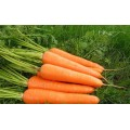 New Crop Water Washed Carrot