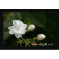 jasmine essential oil for bedroom